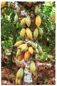 Le cacaoyer, Cacao Theobroma (Mayan : kakaw, Nahuatl : cacahualt), ou la plante de cacao est un petit arbre à feuilles persistantes (4-8 mètres ou 15-26 pieds de haut) dans la famille des Sterculiaceae (alternativement  Malvaceae), originaire à la région tropicale profond des Américains. Ses graines, les fèves de cacao servent à fabriquer du cacao et du chocolat.