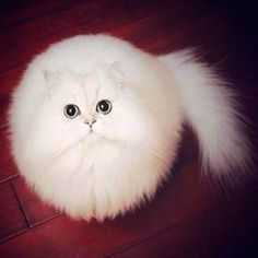 """Subreddit PhotoshopBattles Goes to Town on This Cute Cat Picture Sometimes, photos just work out beautifully, like this one. When photographed from above, this cat turned into a perfect sphere of fluff"" (quote) via viralnova.com"
