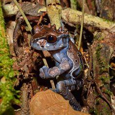 Spiny-Headed Tree Frog (Anotheca spinosa), Costa Rica