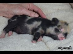 Worlds Smallest Pig - The Smallest Micro Pig Ever Born at Petpiggies - YouTube