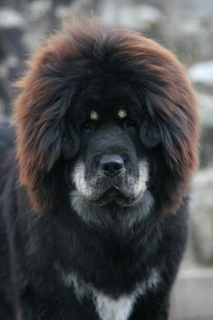Tibetan Mastiff...they come in so many colors..wonder who blows out his hair
