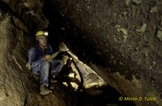 Merlin and assistant Jim Kennedy censusing hibernating gray bats in Pearson Cave, Tennessee. Merlin, Bats, Conservation, Tennessee, Creatures, Sea, History, Animals, Historia