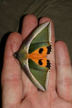 Eudocima salaminia (Noctuidae: Catocalinae) by yakovlev.alexey, via Flickr. Malaysia - #butterfly