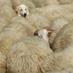 Sheepwatch. By Anne Marie Bouyssou....