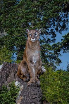 "Photo ""Cougar"" by yukoncharlie"