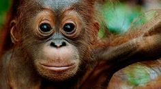 An orangutan - Stop a billion-dollar gift to the palm oil industry! Baby Orangutan, Orangutan Sanctuary, Primates, Save The Orangutans, Baby Animals, Cute Animals, Funny Animals, Oil Industry, Overall Shorts