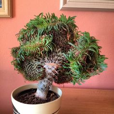 Pachypodium lamerei crested-I want one of these SO bad!!!