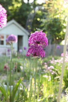 Allium, from Jane Cumberbatch`s Pure Style Blog