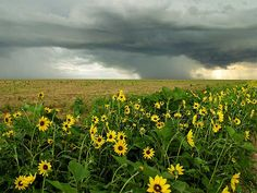 This is so perfectly Kansas.  The two things I think of first are sunflowers and tornadoes . . . .