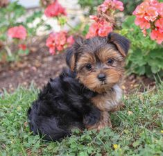 Morkie puppies: Lancaster Puppies has morkie puppies for sale. The Morkie dog is a playful, designer breed. Get a morkie puppy here. Morkie Puppies For Sale, Cute Puppies, Lancaster Puppies, Cute Animals, Animals Dog, Yorkshire Terrier, Mans Best Friend, Yorkie, Puppy Love