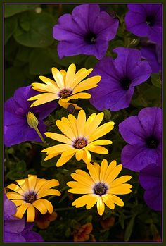 Purple petunias and gold daisies