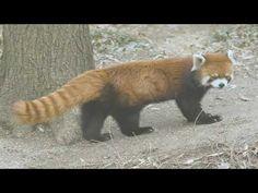 Red Panda, Brown Bear, Ferret, Fox, Animals, Animales, Animaux, Red Pandas, Ferrets