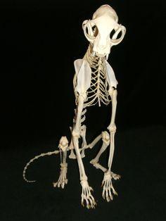 10 Honest Clever Tips: Best Cat Tree real cat tree. Anatomy Bones, Cat Anatomy, Cat Skeleton, Dinosaur Skeleton, Animal Skeletons, Animal Skulls, Animal Doodles, Dinosaur Fossils, Unique Cats