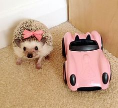 25 Funny and Adorable Hedgehog Pictures That Will Make You Want One – – SBeth - Baby Animals Hedgehog Care, Happy Hedgehog, Pygmy Hedgehog, Cute Hedgehog, Super Cute Animals, Cute Little Animals, Animals And Pets, Funny Animals, My Animal