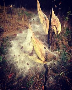 #WonderWatch 2015-170 Future Monarch Food #milkweed #milkweedpods #milkweedseeds #ArtfulNature #GetOutside #nature #naturephotography #SandyLongPhotos #OptOutside #PA #Pennsylvania #UpperDelawareRiverRegion #WildBeauty #MonarchButterfly