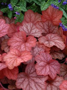 """Heuchera Georgia Peach  Coral Bell, Alum Root    Height: Short 14"""" (30"""" in flower) / Plant 10-18"""" apart  Bloom Time: Early Summer to Late Summer  Sun-Shade: Full Sun to Mostly Shady  Zones: 4-9   Get Your Zone  Soil Condition: Normal, Acidic  Flower Color / Accent: White / White"""