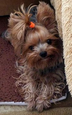 Yorkie Puppy For Sale, Yorkie Dogs, Puppy Love, Cute Puppies, Pet Dogs, Cute Baby Animals, Animals And Pets, Yorshire Terrier, Yorky