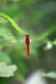 Dragonfly photo taken beside the Turag Dam, Mirpur, Dhaka, Bangladesh.