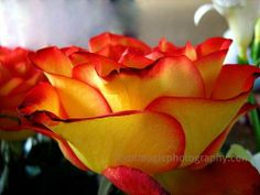 Yellow Rose With Red Tips