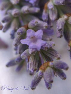 . Lavender Cottage, Lavender Tea, Lavender Flowers, Pastel Purple, Dark Purple, Malva, Language Of Flowers, Violet, Beautiful World