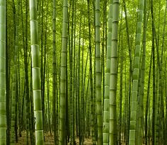 Hangzhou China Luxury Hotel Photo Album and Picture Tour - Amanfayun - picture tour Clumping Bamboo, Bamboo Seeds, Fargesia, Hangzhou, Exotic Plants, Mother Nature, Landscape Design, Tours, Explore