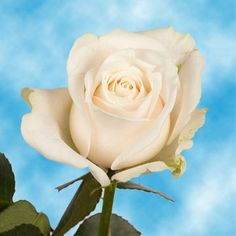 Vendela Rose is a rich creamy white Ivory Rose with a large cup shaped bloom.