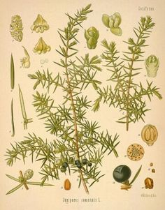 Botanicals used in gin explained on Gin Foundry. This section links which botanicals are used in which gin, what flavour they impart and how to discern them