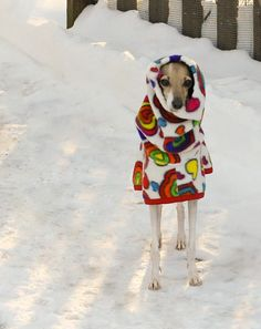 Greyhounds Bundled Up For Winter
