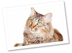 Domestic Medium Hair: This cat breed originated some time after the 1600s in the United States. They vary in temperaments but can be docile, quiet, active, playful, vocal, and affectionate. These cats are available in many colors.