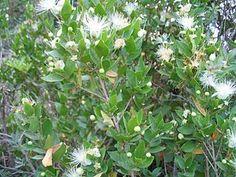 """""""Die Myrtenartigen (Myrtales) bilden eine Pflanzenordnung der Bedecktsamigen Pflanzen (Magnoliopsida)."""" Alzateaceae Flügelsamengewächse (Combretaceae) Crypteroniaceae Weiderichgewächse (Lythraceae) Schwarzmundgewächse (Melastomataceae), inklusive Memecylaceae Myrtengewächse (Myrtaceae), inklusive Heteropyxidaceae und Psiloxylaceae Nachtkerzengewächse (Onagraceae) Penaeaceae, inklusive Oliniaceae und Rhynchocalycaceae Vochysiaceae    Myrtus communis"""