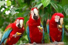 images d'oiseaux : photo de 3 perroquets Ara Chloroptère