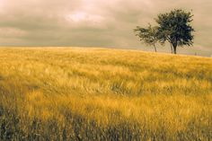 Fields of gold Fields Of Gold, This Is Us, Country Roads, Sky, Trees, Canvas, Products, Heaven, Tela