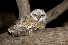 Great Horned Owl (Bubo virginianus) juvenile by Rick & Nora Bowers - The Owl Pages Baby Owls, Owl Babies, Owl Species, Owl Photos, Great Horned Owl, Owl Bird, Cute Owl, Birds Of Prey, Photo Galleries