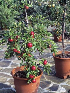 Container fruit trees? I want to try this