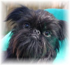 Google Image Result for http://1.bp.blogspot.com/_zuokMaK6Slo/S7N06LVP0RI/AAAAAAAAAZo/SeegRAlnTsQ/s1600/brussels_black8.jpg  I have a black Brussells griffon they are the sweetest dog ever