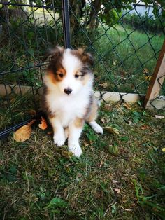 107 best charmy my daughter sheltie images on pinterest in 2018