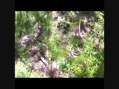 BIGFOOT RESEARCH 19 MAY 2012 VOCALIZATION CAPTURED.wmv