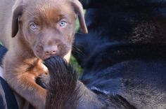 Sorry Bindy, after all I am only a puppy. Labrador Puppies, Dogs And Puppies, Labrador Retriever, Labradors, Puppys, Labs, Animals And Pets, Chocolate, Friends