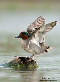 Green-winged Teal #53 (out of order) First seen: Arcata Marsh and Wildlife Sanctuary, Arcata, CA USA