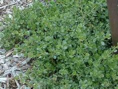 Baccharis pilularis pilularis Pigeon Point Dwarf Coyote Brush, native and deer free