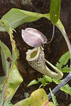 Nepenthes raffelsiana