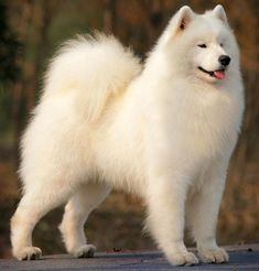 Samoyed--The only kind of dog I would ever consider owning.  So cute and fluffy!