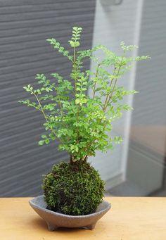 Front Garden Landscape, Garden Landscaping, Landscaping Design, Ikebana, Indoor Garden, Indoor Plants, Midori, Mini Bonsai, Japanese Garden Design