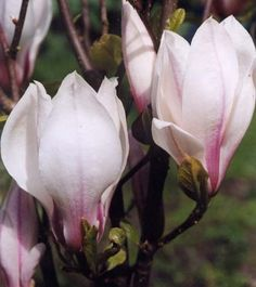 Magnolia 'Red Lucky' - Magnolia Store