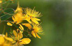 Żółte, Kwiaty, Dziurawiec