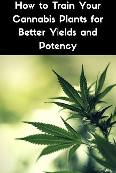 How to Train Your Cannabis Plants for Better Yields and Potency