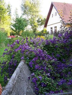 Zahrada plná romantických Clematis Plants, Plant, Planets