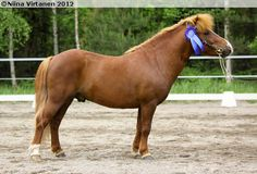 Shetland Pony - stallion Mäkirinteen Golden Star