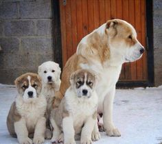 Central Asian Shepherd Dog (Alabai)...! http://www.russiandog.net/central-asian-dog.html