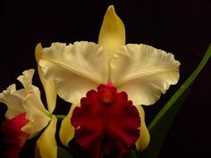 Yellow and Red Lip Cattleya Orchid - Waianae Appeal 'Aloha' (purchased 5/2013 - 4/9/12 tag date)